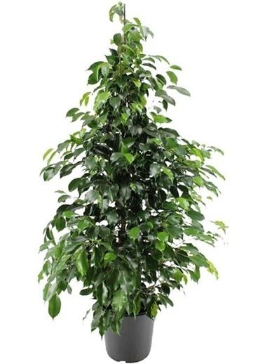 Çiçek Antalya Çiçek Antalya Benjamin Ficus Çiçeği Yeşil